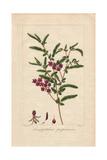 Purple Velvet Bush, Lasiopetalum Purpurascens Giclee Print by Pancrace Bessa