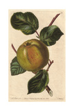 Borovitsky Apple, Malus Domestica Giclee Print by Augusta Withers
