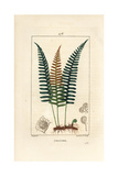 Polypody Fern, Polypodium Vulgare Giclee Print by Pierre Turpin