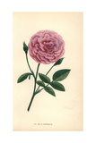 De La Grifferaie Rose, Hybrid of the Rosa Multiflora Giclee Print by Francois Grobon