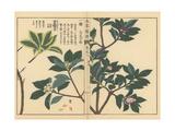 Winter Daphne Varieties and Indian Paper Plant Giclée-Druck von Kan'en Iwasaki