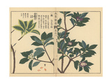 Winter Daphne Varieties and Indian Paper Plant Giclee Print by Kan'en Iwasaki