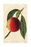 Bellegarde or Galande Peach, Prunus Persica Giclee Print by Augusta Withers