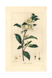 Tea, Camellia Sinensis, Native to China Impression giclée par Pancrace Bessa