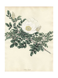White Rose, Rosa Lucida Giclee Print by Henry Andrews