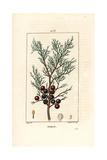 Phoenicean Juniper, Arar, or Incense, Juniperus Phoenicea Giclee Print by Pierre Turpin