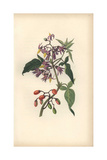 Bittersweet or Woody Nightshade, Solanum Dulcamara Giclee Print by William Clark