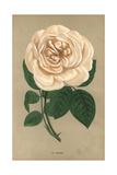 Rubens Rose, Variety of the Tea Rose Giclee Print by Francois Grobon