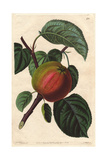 Early Red Margaret Apple, Malus Domestica Giclee Print by Augusta Withers