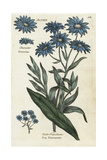 Sea Aster, Aster Tripolium Giclee Print