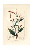 Water-Pepper, Persicaria Hydropiper Reproduction procédé giclée par Pierre Turpin