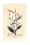 Water-Pepper, Persicaria Hydropiper Giclee Print by Pierre Turpin