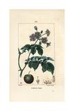 Potato, Solanum Tuberosum Giclee Print by Pierre Turpin