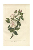 White Rose, Rosa Alba Giclee Print by Mlle. Prudhomme