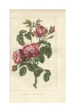 Rose a Cent Feuilles, Rosa Centifolia Giclee Print by Mlle. Prudhomme