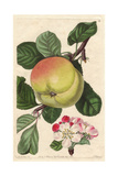 Hawthornden Apple, Malus Domestica Giclee Print by Augusta Withers