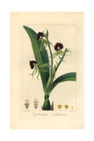 Clamshell Orchid, Epidendrum Cochleatum Giclee Print by Pancrace Bessa