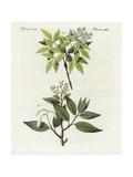 Balm of Peru and Elemi Gum Tree Giclee Print