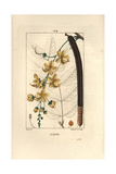 Golden Shower Tree, Cassia Fistula, with Flowers and Seed Pod Giclee Print by Pierre Turpin
