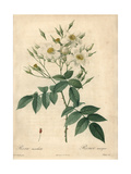 Musk Rose, Rosa Moschata Giclee Print by Pierre-Joseph Redouté