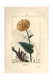 Leopard's Bane, Doronicum Maximum Giclee Print by Pierre Turpin