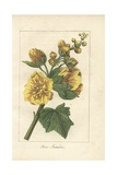 Hollyhock or Rose Tremiere, Alcea Rosea Giclee Print by Mlle. Prudhomme