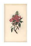 Rusty-Leaved Rhododendron, Rhododendron Ferrugineum Giclee Print by William Clark