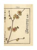 Japanese Allspice, Chimonanthus Praecox Giclee Print by Bairei Kono