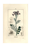 Cuckoo Flower or Lady's Smock, Cardamine Pratensis Giclee Print by Pierre Turpin