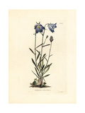 Schreuchzers Harebell, Campanula Scheuchzeri Giclee Print by George Cooke