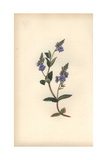 Speedwell, Veronica Chamaedrys Giclee Print by William Clark