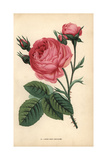 Rose Cent Feuilles, Rosa Centifolia Giclee Print by Francois Grobon