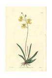 Muleear Orchid, Tolumnia Guianensis Giclee Print by W.B. Booth