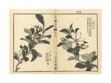 Common Gardenia, Gardenia Jasminoides Giclee Print by Bairei Kono