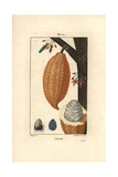 Cocoa or Cacao Bean, Theobroma Cacao, with Fruit Impression giclée par Pierre Turpin