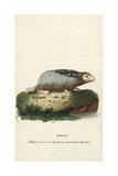 Bobak Marmot, Marmota Bobak Giclee Print by Thomas Pennant