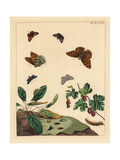 Silver-Washed Fritillary, Forester Moth, Gooseberry Moth, Etc Giclee Print by Moses Harris