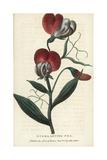 Everlasting Pea, Lathyrus Latifolia Giclee Print