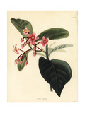 Coralberry Tree, Ardisia Colorata Giclee Print by George Cooke