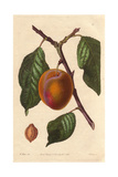 Washington Plum, Prunus Domestica, from New York Giclee Print by Augusta Withers