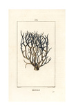 Orcein or Archil, Roccella Tinctoria Giclee Print by Pierre Turpin