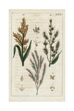 Sorghum and Johnson Grass Giclee Print
