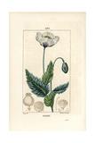 Garden or Opium Poppy, Papaver Somniferum Giclee Print by Pierre Turpin