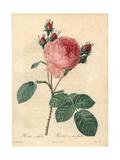 Cabbage Rose, Rosa Centifolia Giclee Print by Pierre-Joseph Redouté