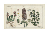 Wild Thyme, Field Cow Wheat and Corn Speedwell Giclee Print