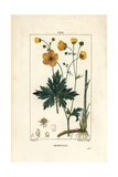 Upright Crowfoot, Ranunculus Acris Giclee Print by Pierre Turpin
