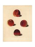 Nectarine Varieties, Prunus Persica Giclee Print by George Brookshaw