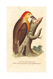 Jamaican Woodpecker, Melanerpes Radiolatus Giclee Print by George Edwards