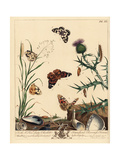 Painted Lady and Marmoress Butterfly Giclee Print by Moses Harris