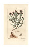 Thyme, Thymus Vulgaris Giclee Print by Pierre Turpin